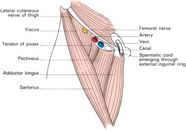 Adductor canal boundaries in dating 2