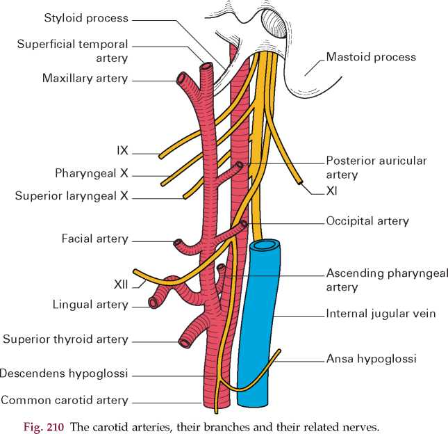the major arteries of the head and neck