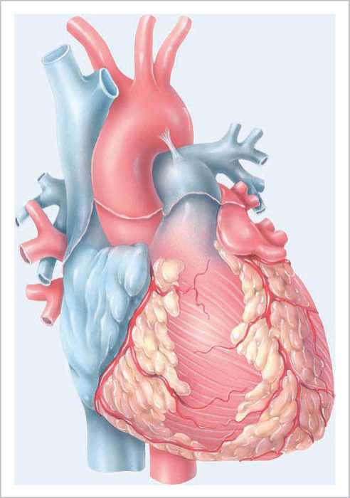 The Cardiovascular System The Heart