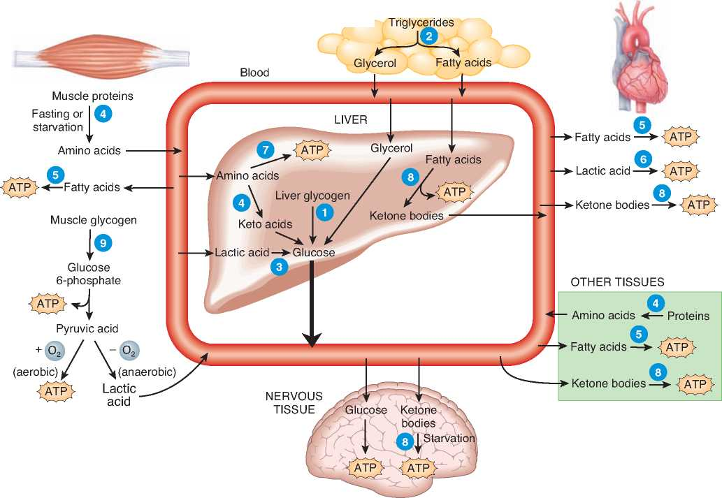 anabolic catabolic and amphibolic pathways