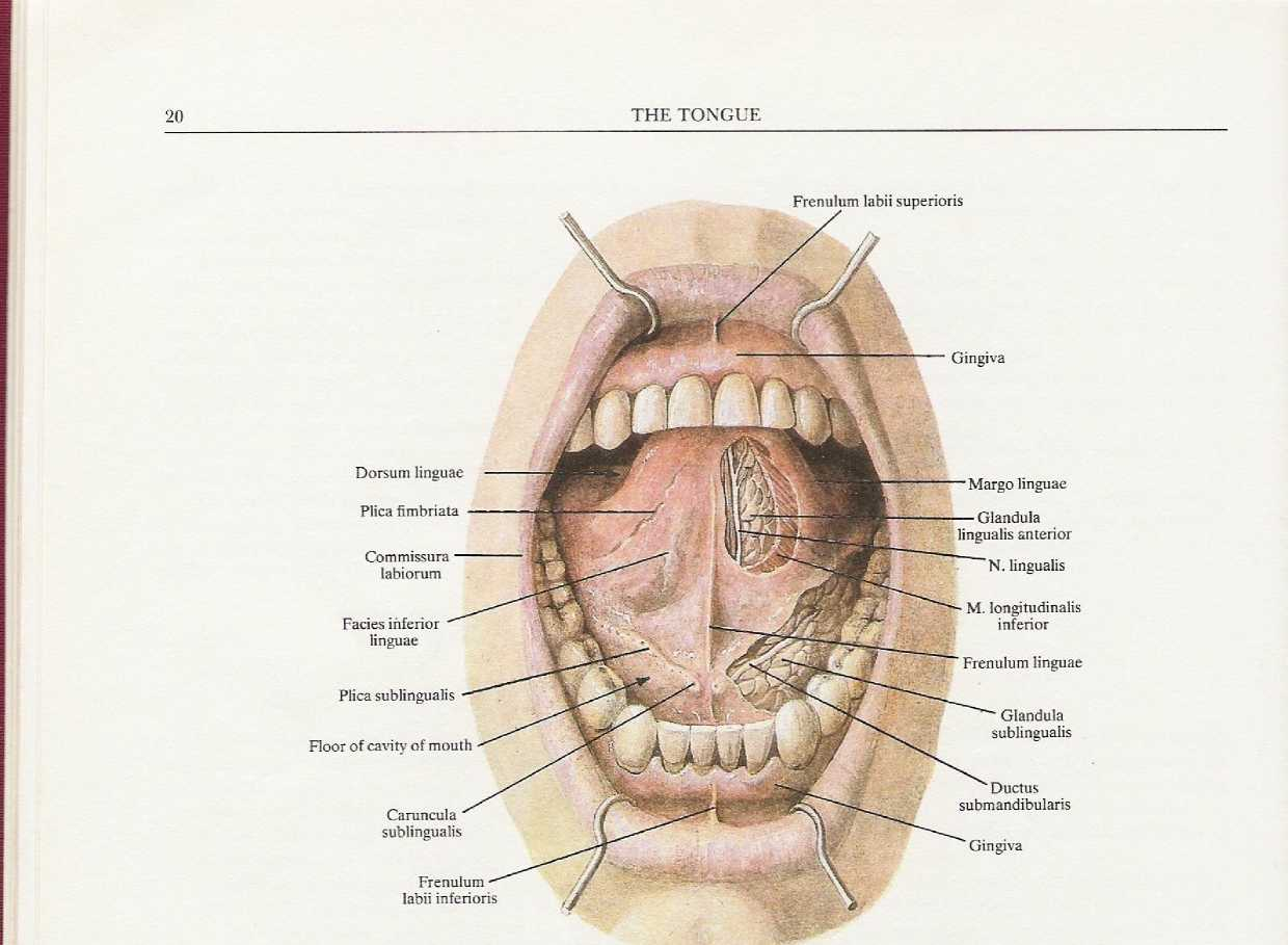 5576383 in addition Tongue Diagram Side View further Ventricular System Cerebrospinal Fluid as well Story together with 24105 The Cheeks. on dorsal body cavity superior and inferior