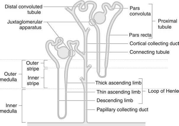 The function of the glomerulus figure 2 schematic diagram of two nephrons one of which is a juxtamedullary nephron long loop of henle and one a superficial cortical nephron short loop ccuart Images