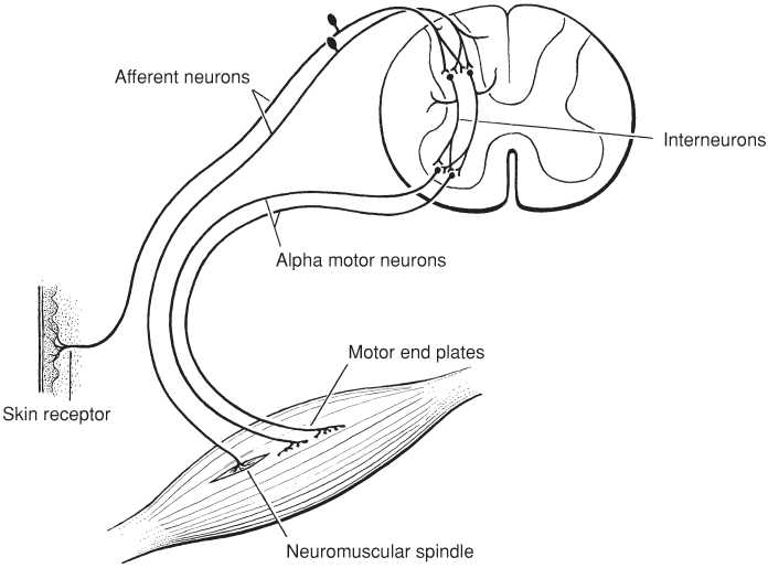 Time Is Brain 78793870 moreover 2354 additionally Ch 27 Earthworm Lab besides Vascular smooth muscle likewise Muscles Diaphragm Pictures Diaphragm Muscle Anatomy Anatomy Muscles Diaphragm Pictures Diaphragm Muscle Anatomy Anatomy Organ. on what are the diseases of nervous system