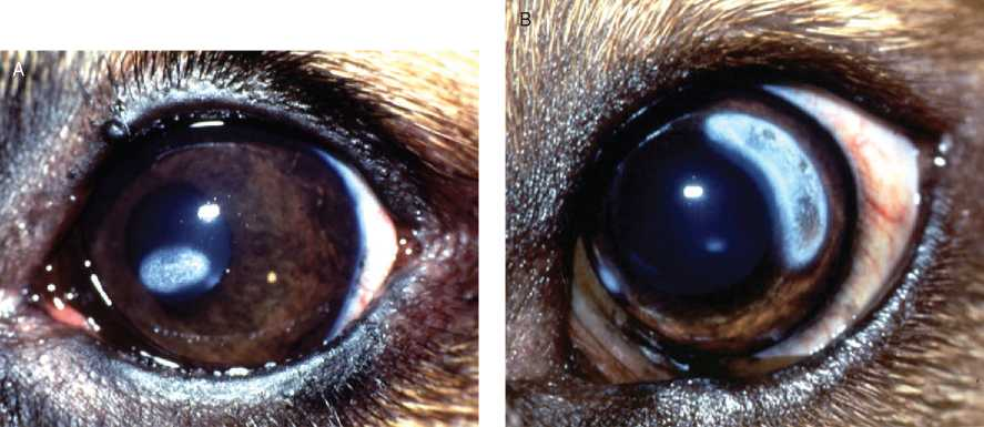 Eye Calcification In Dogs