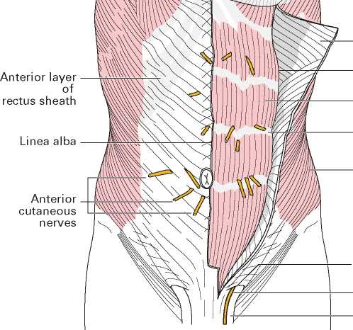 The Fasciae And Muscles Of The Abdominal Wall