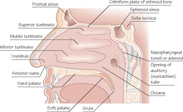 The Nose And Paranasal Sinuses Applied Anatomy And Examination