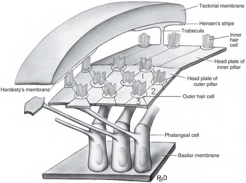 Cochlear Duct Scala Media