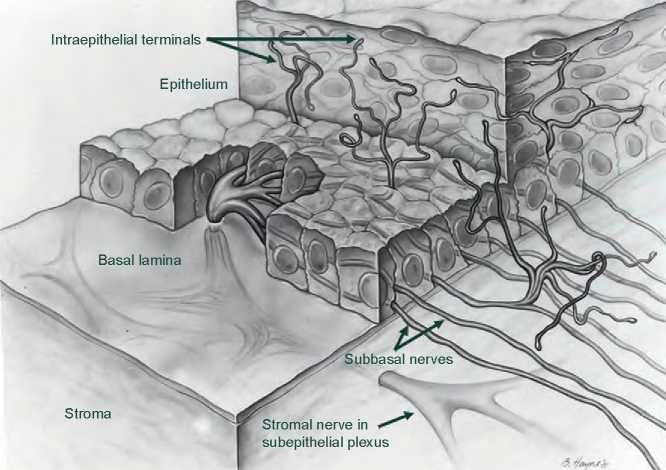Stromal nerves penetrate the basal lamina and branch into a leash-like  assemblage of horizontally oriented fibers called subbbasal nerves; the  latter nerves ...